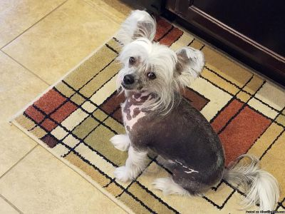 3 Year Old Purebred Chinese Crested