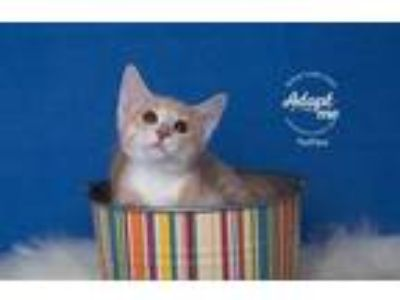 Adopt Toffee a Domestic Short Hair