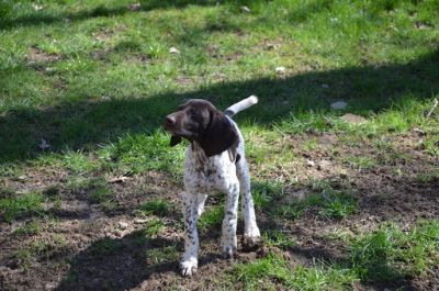 German Shorthaired Pointer PUPPY FOR SALE ADN-75114 - AKC German Shorthaired Pointer puppies