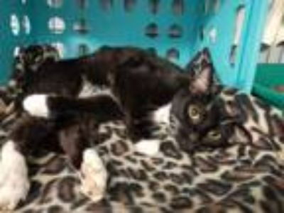 Adopt Sharpie a Black & White or Tuxedo Domestic Shorthair / Mixed cat in