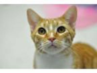 Adopt Fortune a Tabby, Domestic Short Hair