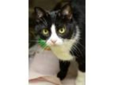 Adopt Jenny a Domestic Shorthair / Mixed cat in Versailles, KY (22025869)