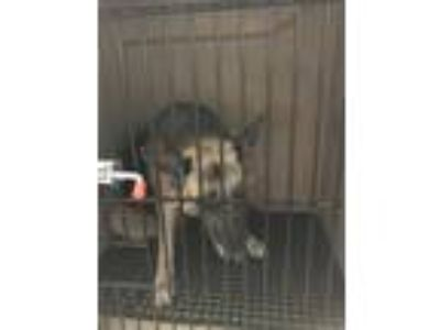 Adopt Bongo a German Shepherd Dog