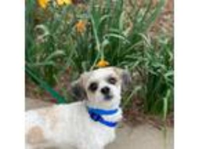 Adopt Cody Bear a White Shih Tzu / Poodle (Miniature) / Mixed dog in Racine