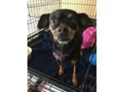 Adopt Patty a Miniature Pinscher
