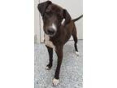 Adopt Hershey a Labrador Retriever / Mixed dog in Angola, IN (25359517)