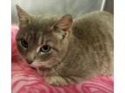Adopt Tiki a Domestic Short Hair