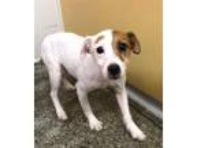 Adopt Otis a Parson Russell Terrier / Mixed dog in Madison, NJ (25582123)