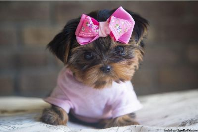 Doll faced Yorkie puppies Toy-Teacup