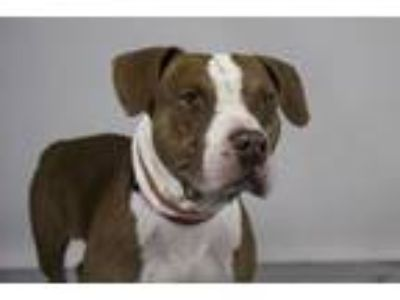 Adopt LIONEL a American Staffordshire Terrier, Mixed Breed
