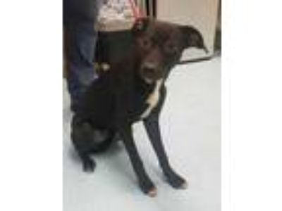 Adopt PENELOPE a Black Labrador Retriever / Mixed dog in Clinton, NC (25906121)