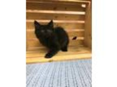 Adopt KNOTHE a All Black Domestic Longhair / Domestic Shorthair / Mixed cat in