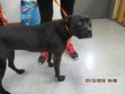 Adopt 42197934 a Black American Pit Bull Terrier / Boxer / Mixed dog in