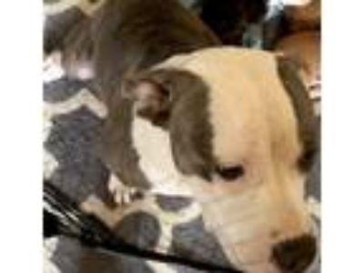 Adopt Sasha a Gray/Blue/Silver/Salt & Pepper American Pit Bull Terrier / Kuvasz