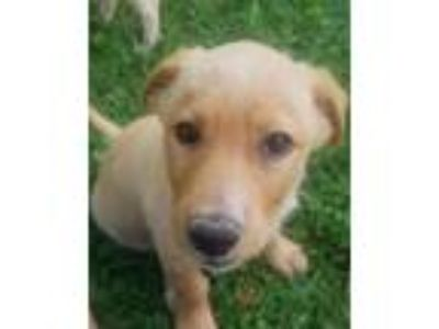 Adopt Short Line a Beagle, Labrador Retriever