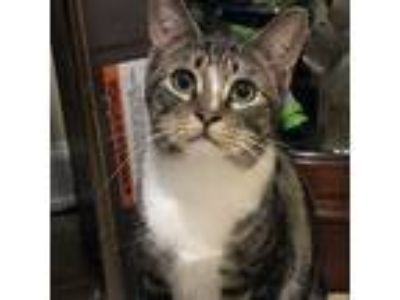 Adopt Nefertiti a Brown Tabby Domestic Mediumhair / Mixed cat in Garner