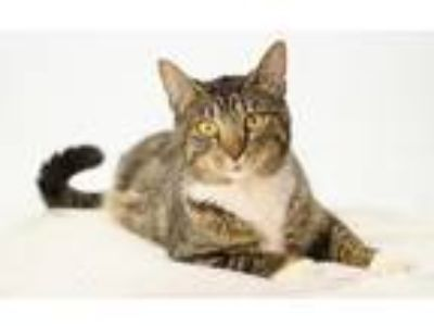 Adopt Lady Tremaine a Brown Tabby Domestic Shorthair / Mixed (short coat) cat in