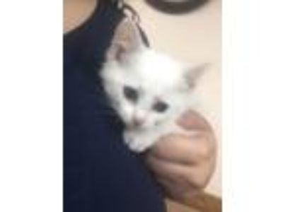 Adopt White Kitten a Domestic Short Hair, Extra-Toes Cat / Hemingway Polydactyl