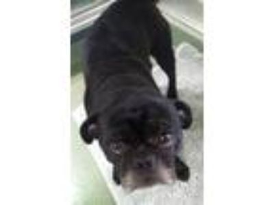 Adopt Billy a Pug / Mixed dog in Charlottesville, VA (25310945)