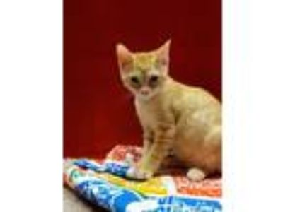 Adopt Sampson a American Shorthair / Mixed (short coat) cat in Coshocton