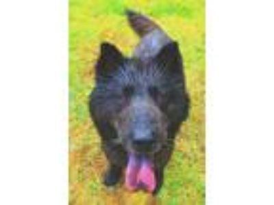 Adopt Trixie a Black German Shepherd Dog / Chow Chow / Mixed dog in Madison
