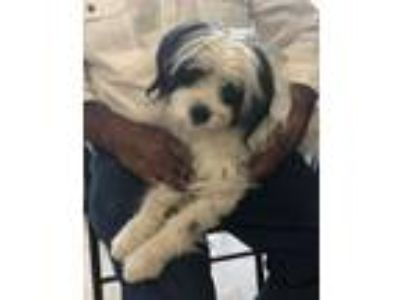 Adopt Ruby a Poodle (Standard) / Shih Tzu / Mixed dog in Logan, UT (25834807)