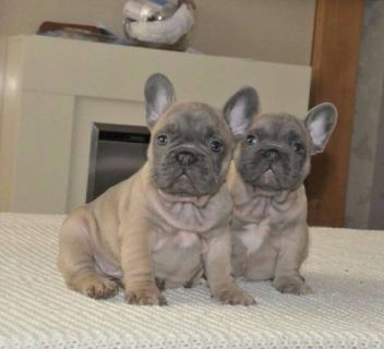 cute lovely frenchies for sa;e