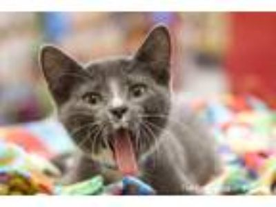 Adopt Franky a Gray or Blue (Mostly) Domestic Shorthair (short coat) cat in