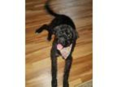 Adopt Rufus a Black Poodle (Miniature) / Labrador Retriever / Mixed dog in St