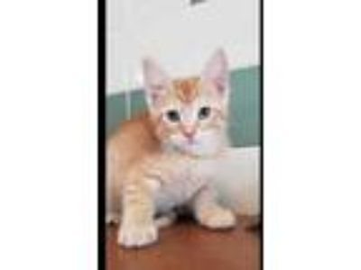 Adopt Tazz a Orange or Red Domestic Shorthair / Domestic Shorthair / Mixed cat