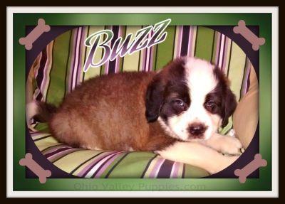 Buzz AKC Dry Mouth Saint Bernard $399.00 330-826-1882 t/c