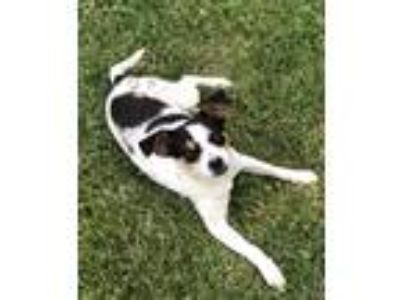 Adopt Oreo coming 6-29 a Jack Russell Terrier / Mixed dog in Pottstown