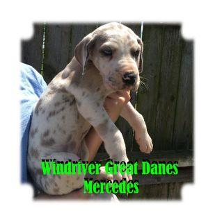 Windriver Great Dane Puppies With Champion Bloodlines
