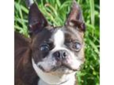 Adopt Willy a Boston Terrier