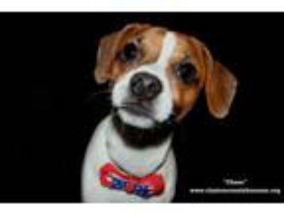 Adopt Chase a Jack Russell Terrier
