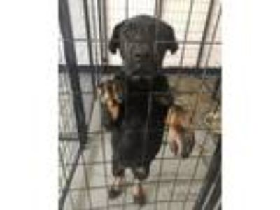 Adopt Puppy Snickers a Rottweiler