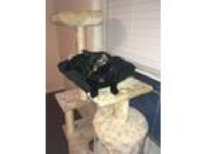 Adopt Houdini a All Black Bombay / Mixed cat in Greenville, TX (21430072)