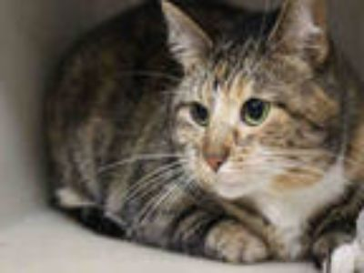 Adopt BELL a Calico or Dilute Calico Domestic Shorthair / Mixed (short coat) cat