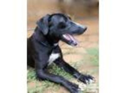 Adopt Dingle a Black Hound (Unknown Type) / Mixed dog in Lihue, HI (25807028)