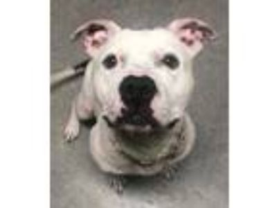 Adopt Mosh a White American Pit Bull Terrier / Mixed dog in DeKalb