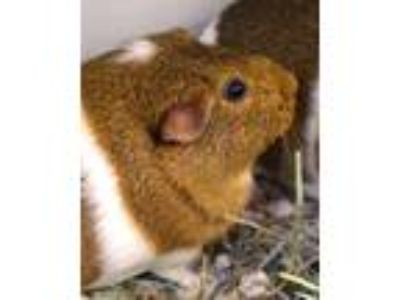 Adopt Caroline a Guinea Pig small animal in Novato, CA (25520791)