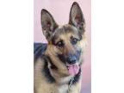 Adopt Lassie von Langen a Black - with Tan, Yellow or Fawn German Shepherd Dog /