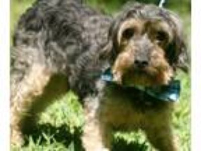 Adopt JETTI a Yorkshire Terrier, Poodle