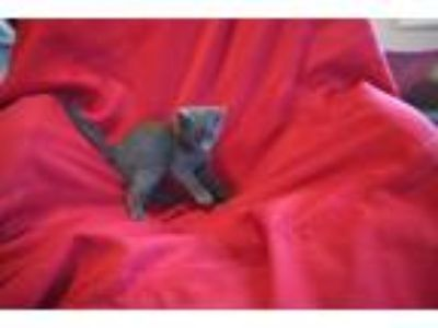 Adopt Blueberry a Gray or Blue Russian Blue (short coat) cat in Allentown
