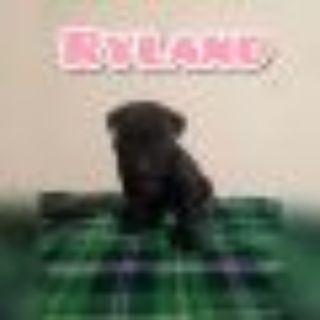 Ryland Black Labrador Retriever Dog