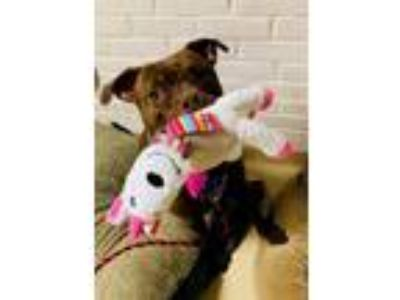 Adopt PEBBLE a Brown/Chocolate American Pit Bull Terrier / Mixed dog in