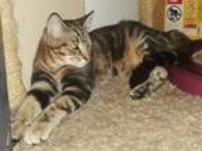 Adopt Joey a Brown Tabby Domestic Shorthair / Mixed (short coat) cat in Taylor