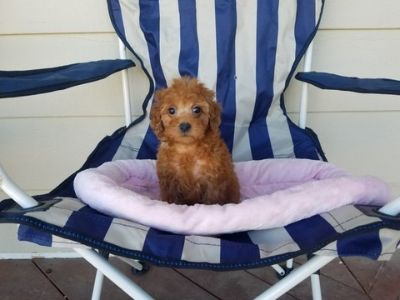 Maltipoo PUPPY FOR SALE ADN-105383 - Red Maltipoo Girls