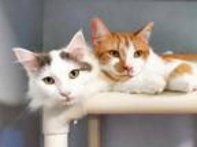 Adopt Luigi a White Domestic Longhair / Domestic Shorthair / Mixed cat in Fort