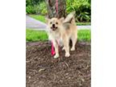 Adopt Hattie a Tan/Yellow/Fawn Pomeranian / Cairn Terrier dog in conroe